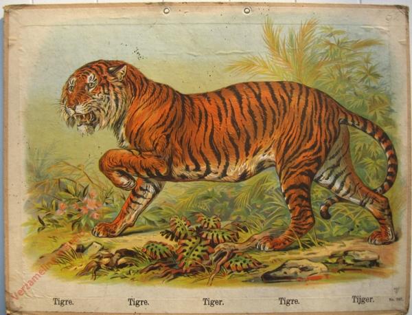 747 - Tigre, Tigre, Tiger, Tigr, Tijger